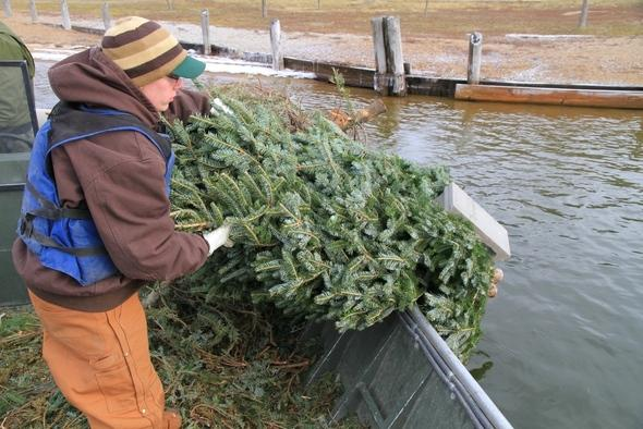 A Missouri state biologist sinking a Christmas tree in a lake to build fish habitat.
