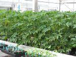The cassava plant.