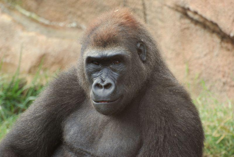 Muchana, an 8-year-old great ape, died after becoming entangled in ropes.