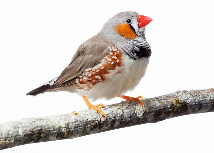 The zebra finch is the first songbird to have its genome sequenced.