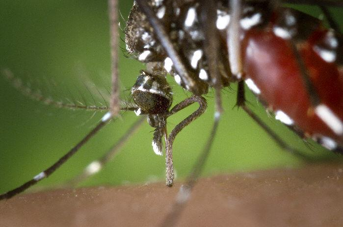 The Asian Tiger Mosquito (Aedes albopictus) is a West Nile Virus vector.