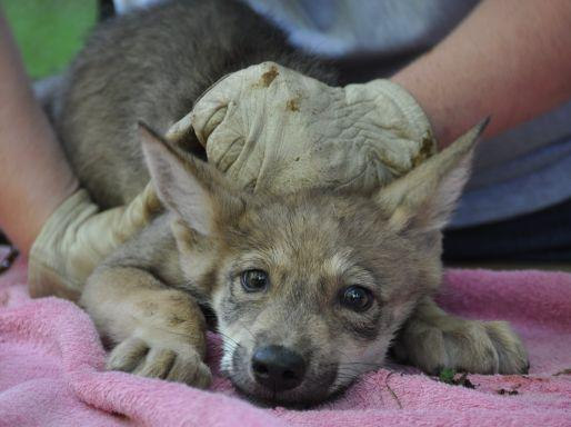 One of the five Mexican gray wolf pups born at the Endangered Wolf Center near St. Louis.