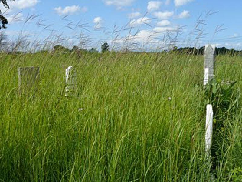 """A cemetery in Ohio contains a fragment of \""""big blue stem\"""" prairie. At the time of the Lewis & Clark expedition, these tall grasses rolled across much of the nation's undeveloped midsection. (photo: Jim McCormac)"""