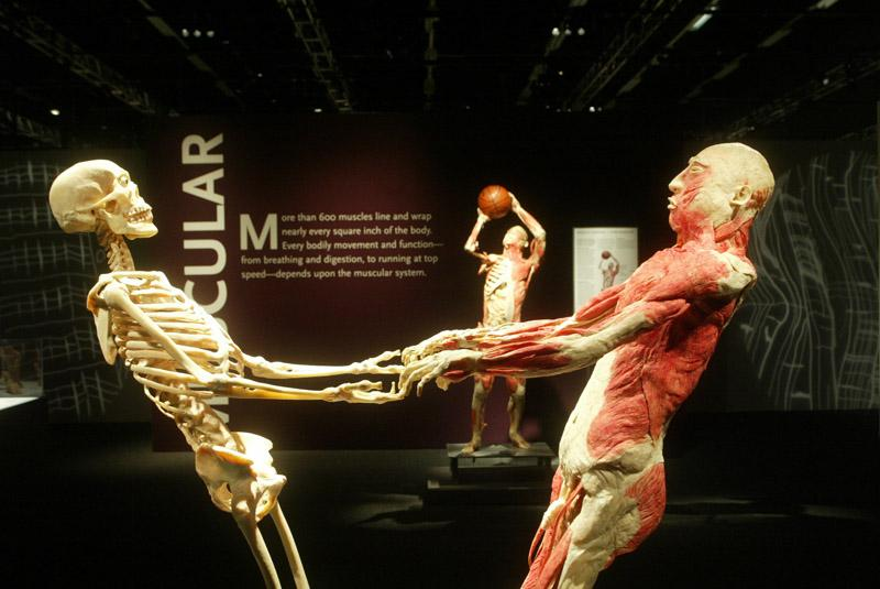 "Plastinated human cadavers, an example of what visitors may see when ""Bodies: The Exhibition\"" begins in St. Louis October 2."