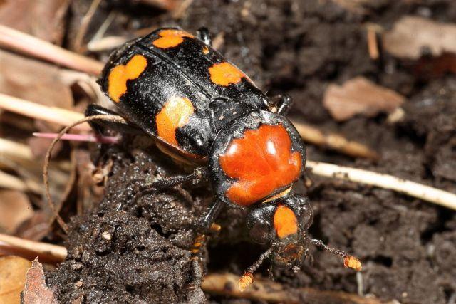A female American burying beetle.