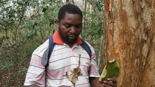 Tanzanian botanist Cosmas Mligo stands next to an endangered Karomia gigas tree and holding one of its fruits and leaves.
