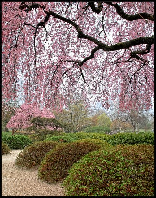 Cherry tree in bloom at the Missouri Botanical Garden