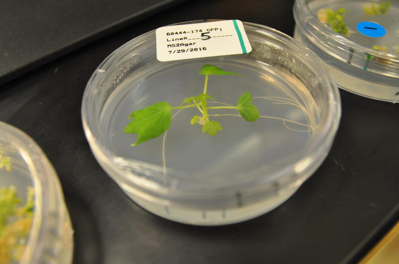 A cassava micro plant, grown in a Petri dish, is kept in a Danforth unit similar to a walk-in incubator.