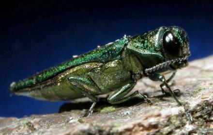 An adult emerald ash borer.