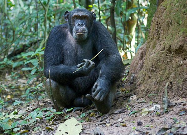 The use of specialized tools to dig for food sources is a mark of this population of chimpanzees, according to studies by Sanz and Morgan.