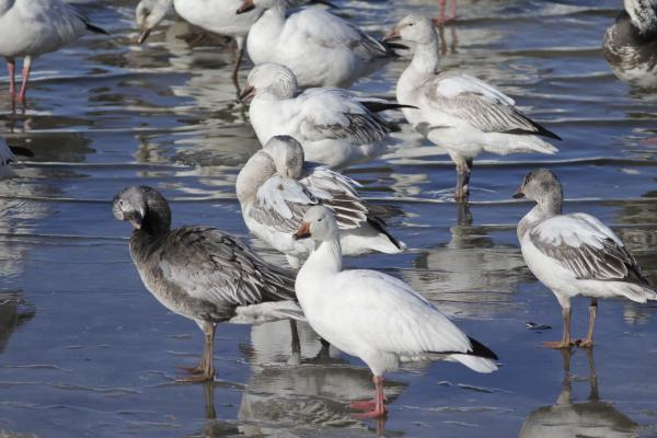 "Snow geese come in two colors or ""morphs:"" white and ""blue."""