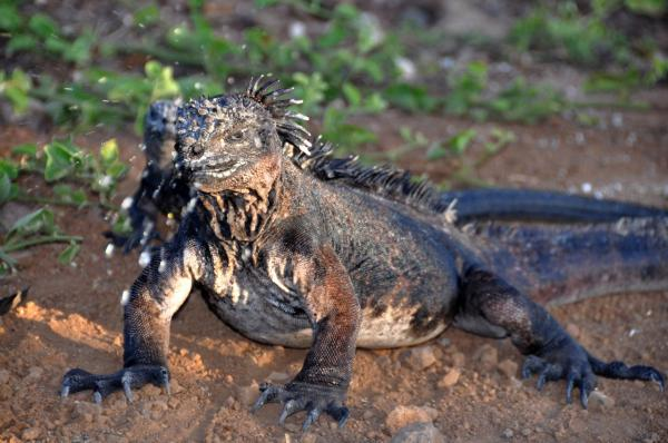 "Marine iguanas are found only in the Galapagos Islands. They can swim and feed on algae growing on rocks near shore. A gland in their snout removes salt from their body, which they expel by ""sneezing."""