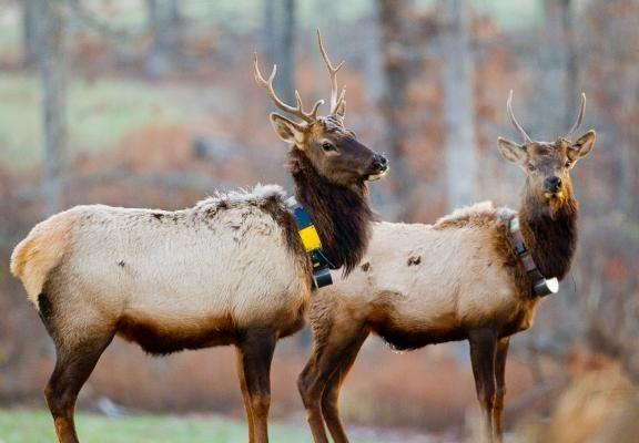 These two bull elk were among the first to arrive at Peck Ranch in May, 2011. They were outfitted with GPS collars for tracking purposes.