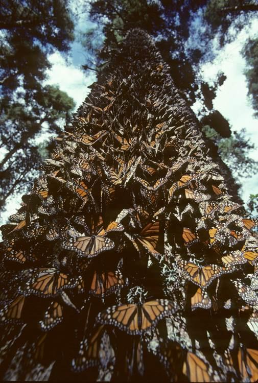 Monarchs cluster together for warmth on the trunk of an oyamel fir tree.