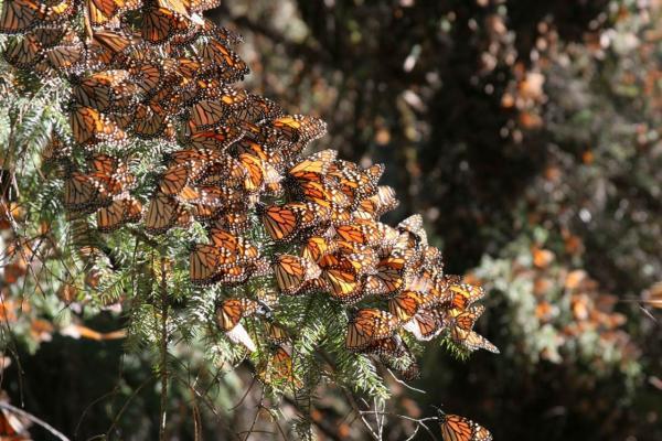 Monarch butterflies cluster on the branch of an oyamel fir tree in Mexico.