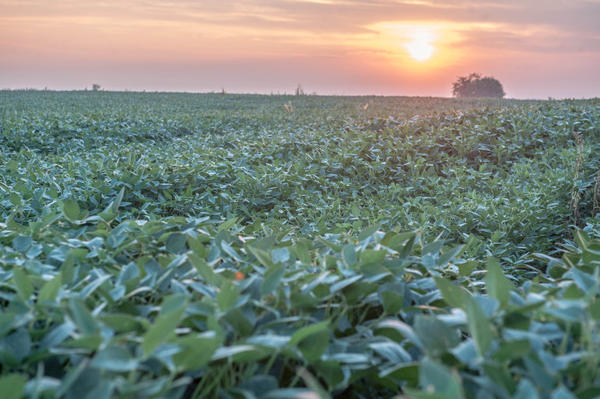Soybeans at sunrise near Mansfield, Ill., on Aug. 20, 2013.