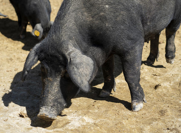 Illinois Farmers Put Rare Pig Back On The Dinner Table To