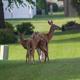 Deer Overpopulation
