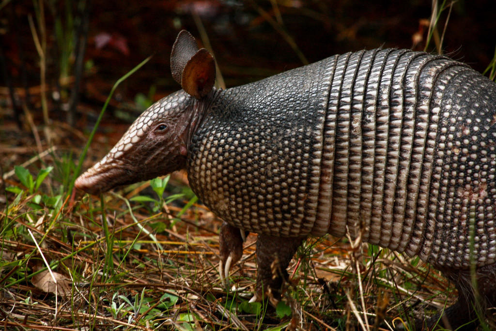 Here's Why You've Started To See Armadillos In The St