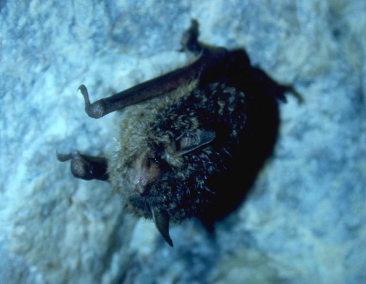 the indiana bat endangered The indiana bat is the only federally endangered mammal in iowa also includes articles on recent bat conservation projects bat conservation international is working on contact us administration office 11407 nw jester park drive granger, ia 50109 p.