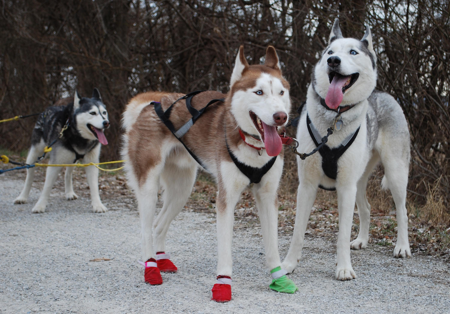 Unlikely tale: Meet the rescued huskies who practice for ...