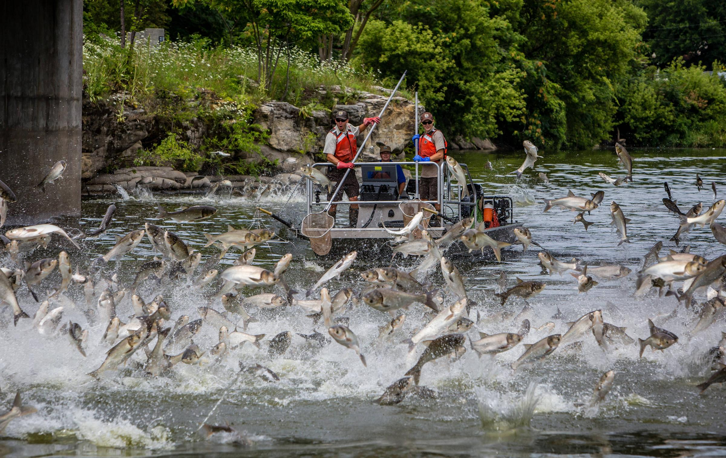 St louis county and wildlife biologists launch assault on for Illinois river fishing