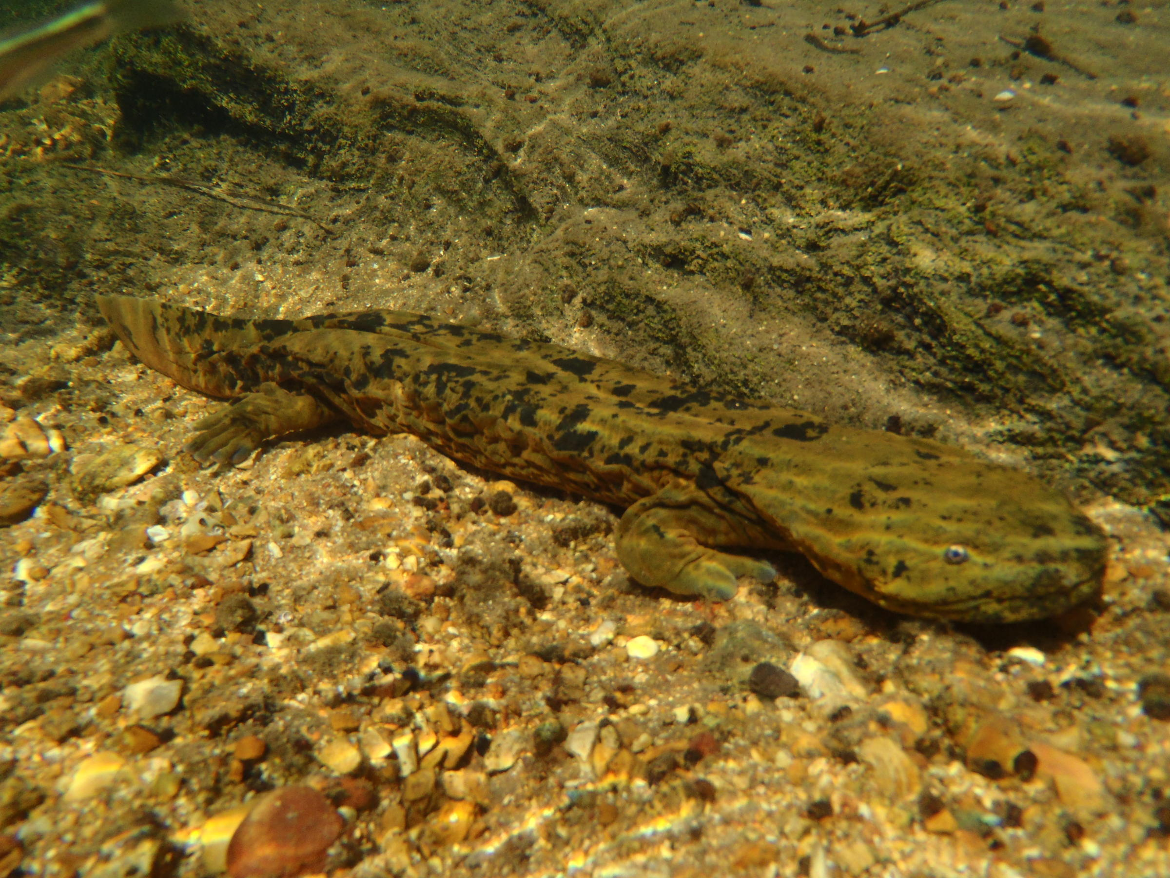 how to catch a hellbender