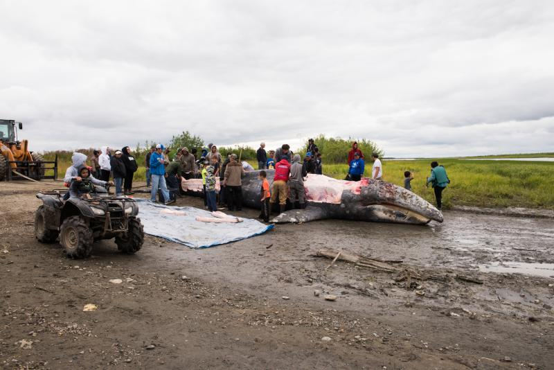 The whale killed in the Kuskokwim River on Thursday night is butchered and the meat and blubber distributed to people up and down the river.
