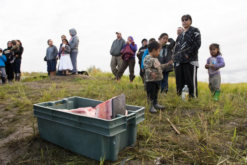 The whale killed in the Kuskokwim River on Thursday night is butchered and the meat and blubber distributed to people up and down the river on Saturday, July 29, 2017.