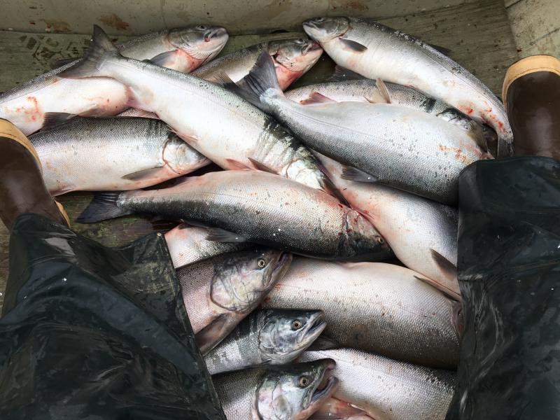 Silver salmon fills the bottom of a boat during a subsistence opening in August 2016 near Bethel.