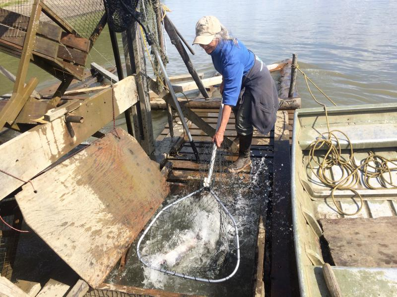 Barb Carlson uses a dipnet to haul fish from the live box.