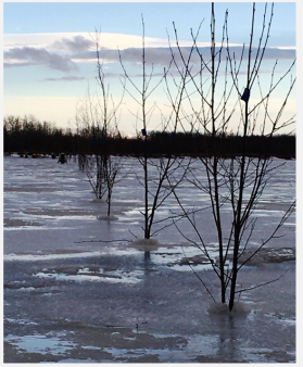 Ninety willows with blue reflectors stretch across the lower end of Kuskokuak Slough, making a thin line between travelers and three open holes. Bethel Search and Rescue staked the willows on December 22, 2017.