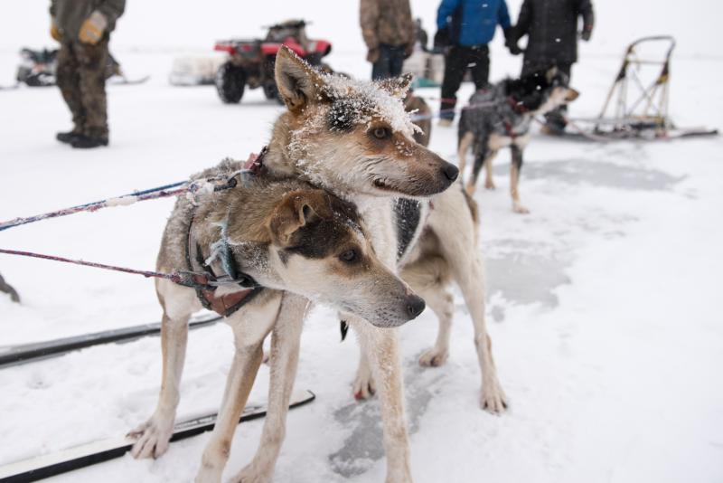 Dogs from Mike Williams Jr.'s team rest after crossing the finish line at the Kuskokwim 300 Season Opener on December 30, 2017.