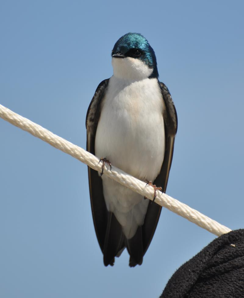 A swallow resting after a long commute to our delta.