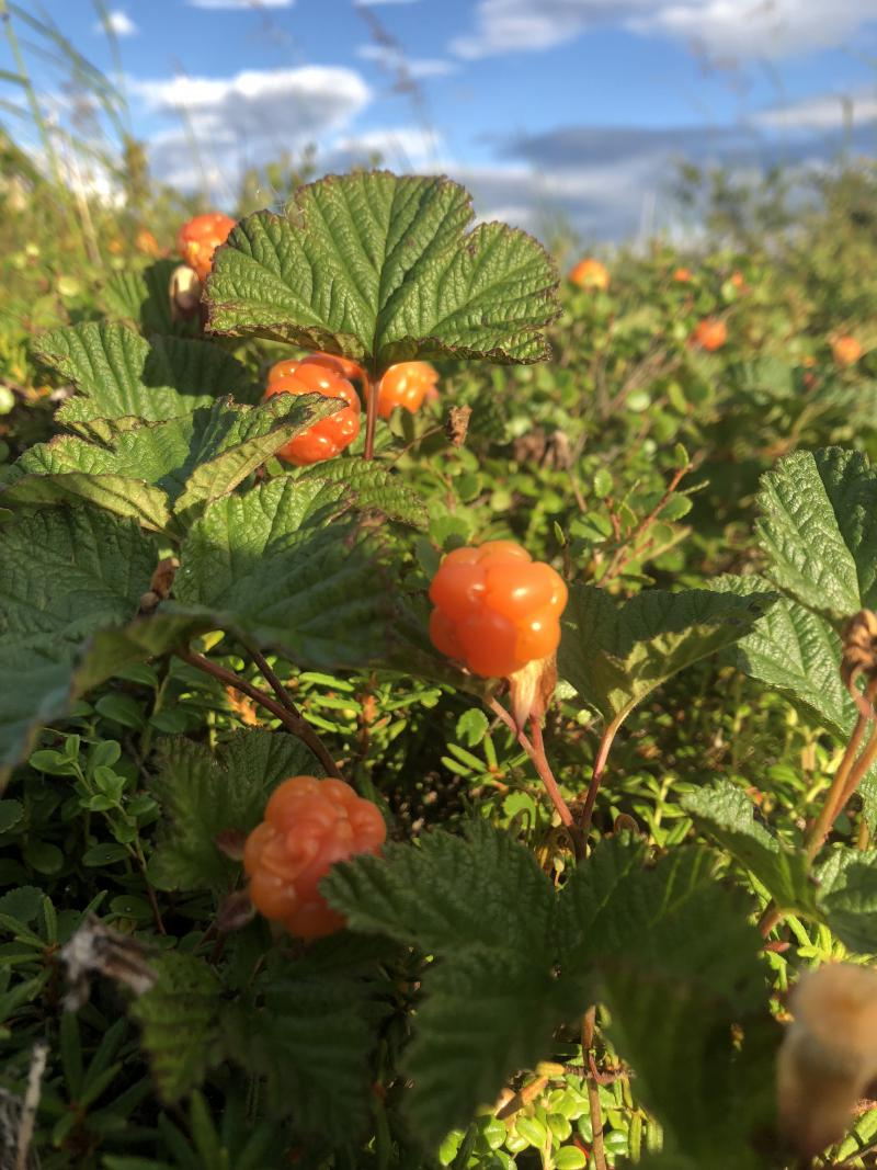 Plenty of salmonberries for the summer of 2018.