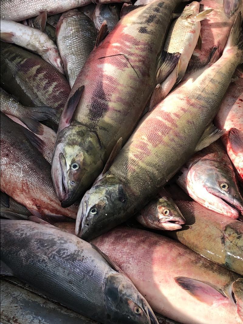 Upriver fish, dog salmon.