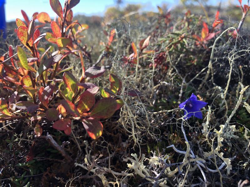 Purple flower on the tundra.