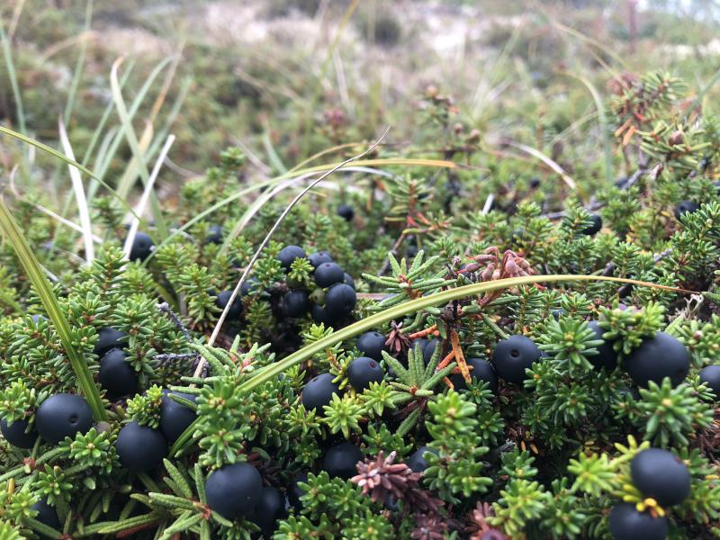 Blackberries on the tundra.