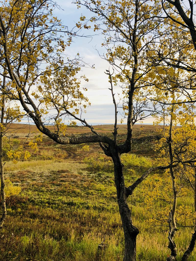 Quaking aspen and the tundra.