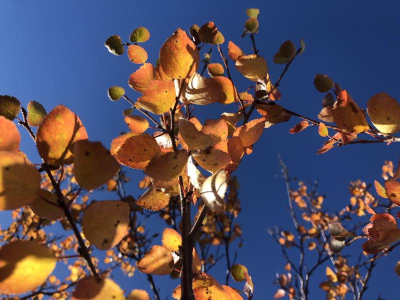 Fall 2018 tundra leaves.
