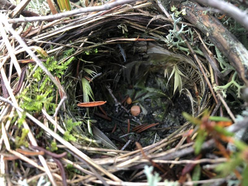 Empty bird nest on the tundra.