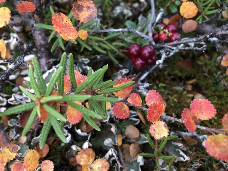 Fall 2018 cranberries on the Alaskan tundra.