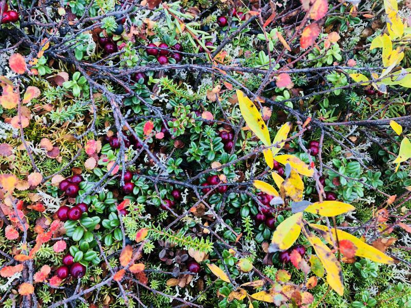 Fall 2018 cranberries in Bethel.
