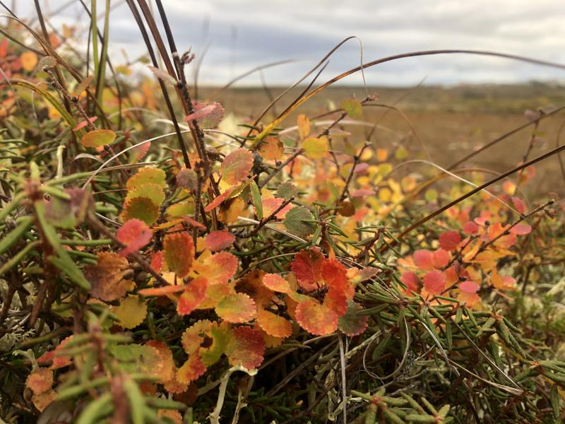 The Alaskan tundra colors are changing quick.