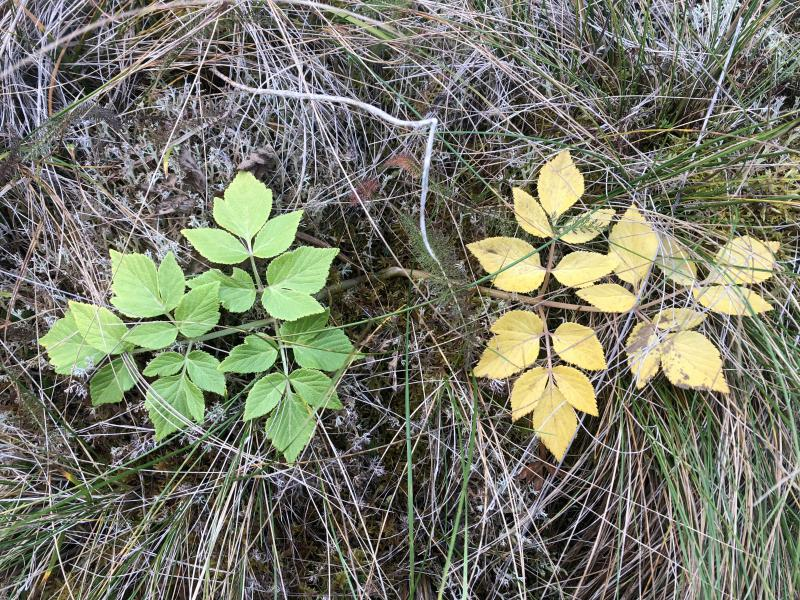 Closely identical tundra plant.