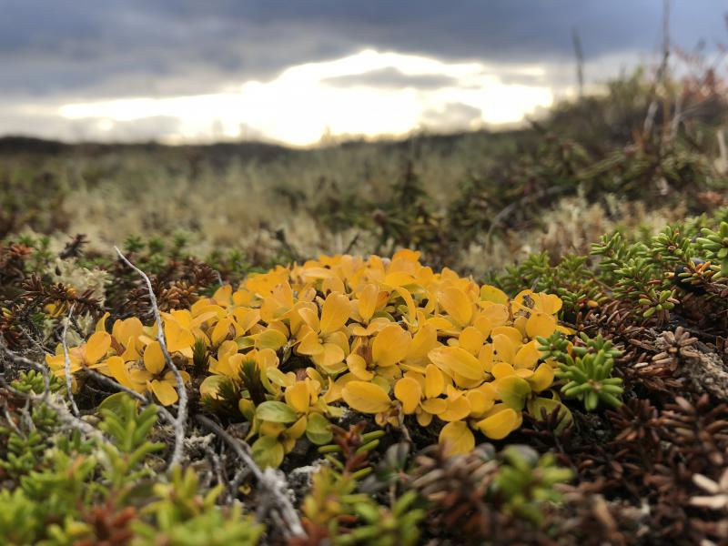A patch of yellow leaves on the tundra.