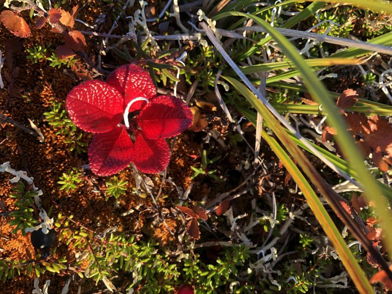 Red tundra leaves formed as petals, reflecting a tundra flower.