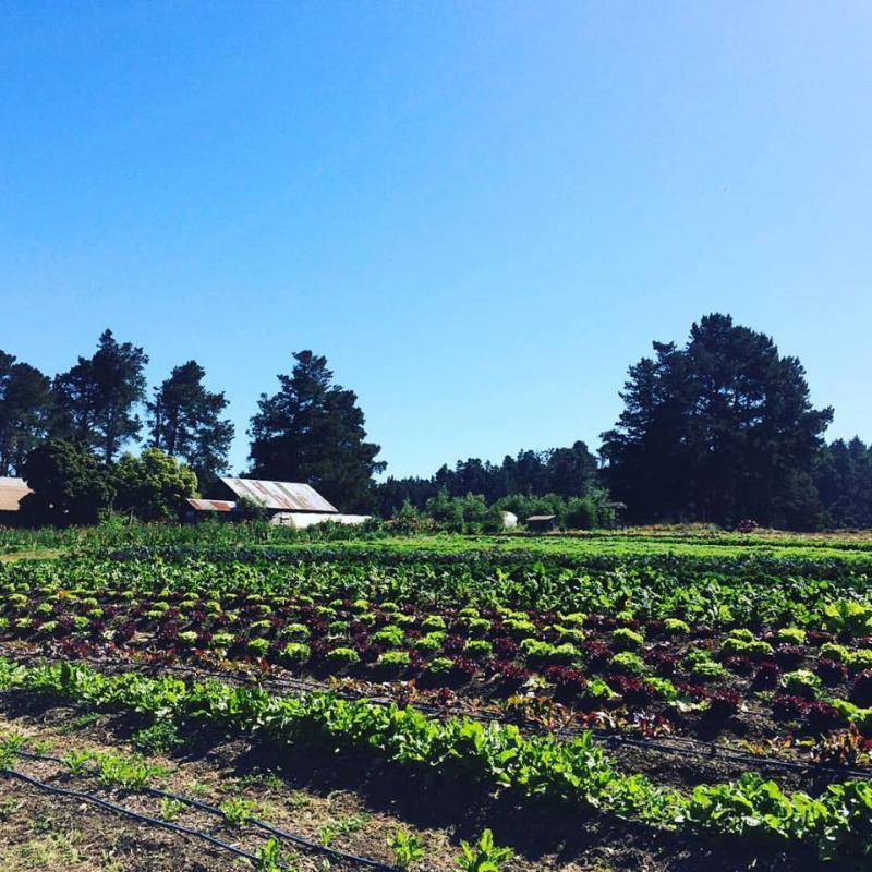 Vegetable field at Fortunate Farm, Caspar