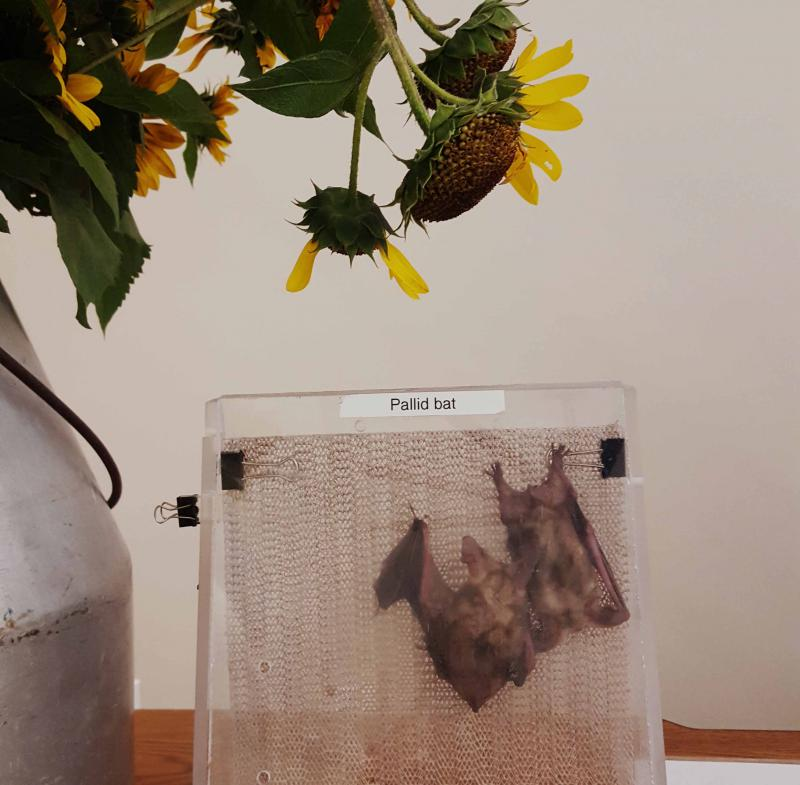 Two of Corky Quirk's pallid bats hanging out underneath some sunflowers