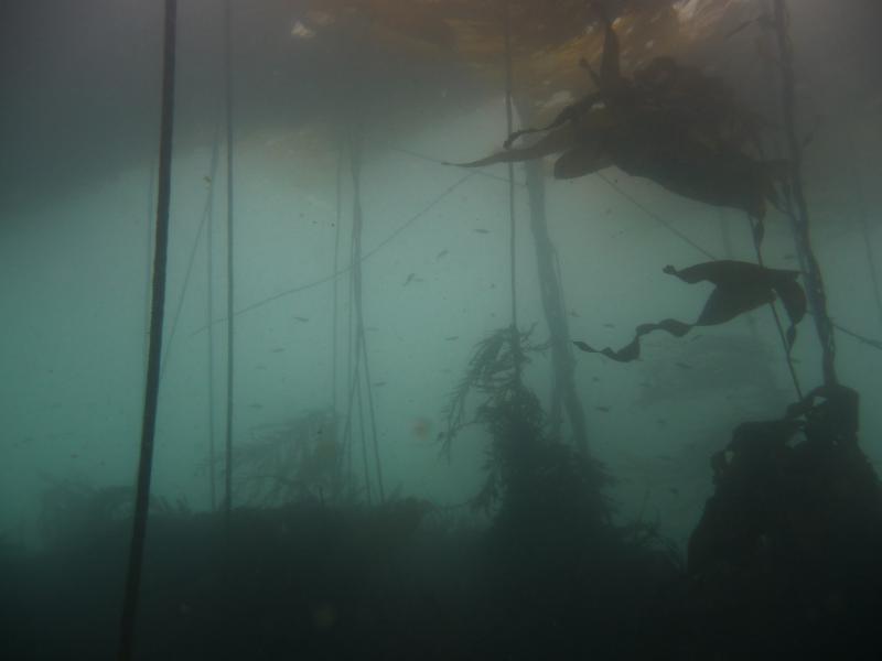 Kelp from below